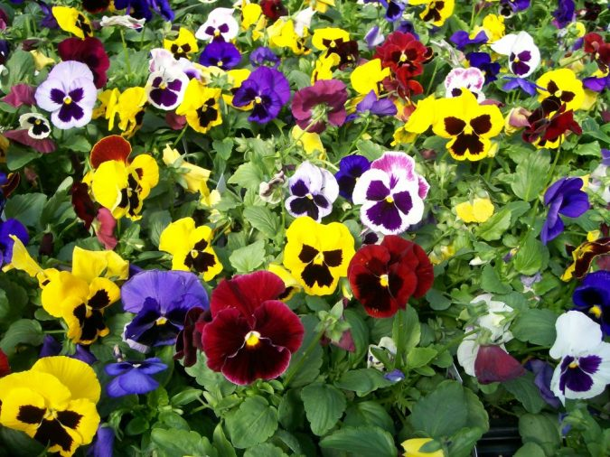 colorful-pansy-flowers-675x506 Top 10 Flowers That Bloom in Winter