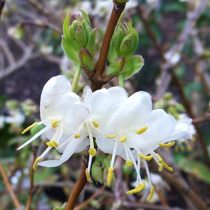 original-scented-bush-winter-honeysuckle-675x675 Top 10 Flowers That Bloom in Winter