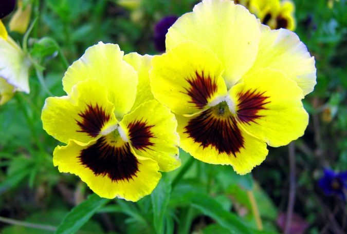 yellow-pansyflowers-675x456 Top 10 Flowers That Bloom in Winter