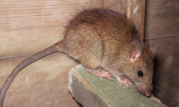 Common-Problems-from-House-Mice 7 Problems You Can Get From House Mice