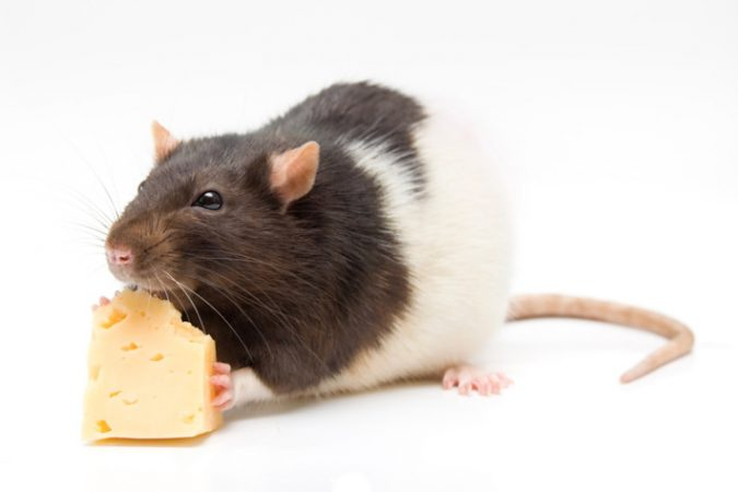 Contamination-of-Edible-Items-675x450 7 Problems You Can Get From House Mice