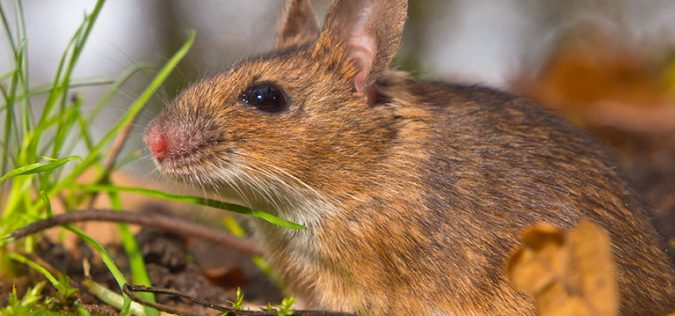 Damage-your-Gardens-675x316 7 Problems You Can Get From House Mice