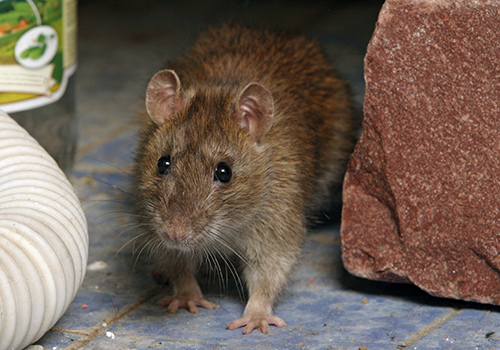 Devastate-your-Home-Structure 7 Problems You Can Get From House Mice