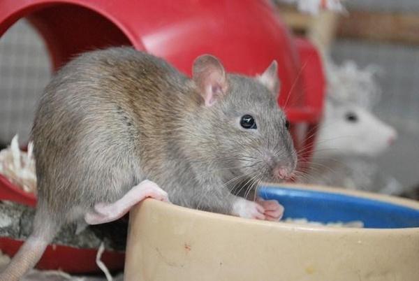 Diseases 7 Problems You Can Get From House Mice