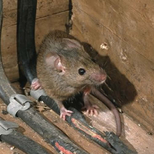They-will-Make-their-Way 7 Problems You Can Get From House Mice