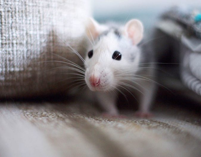 Threat-to-your-Furniture-675x527 7 Problems You Can Get From House Mice