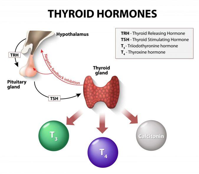 Thyroid-Hormones-675x590 Top 10 Hormones That Help You Lose Weight