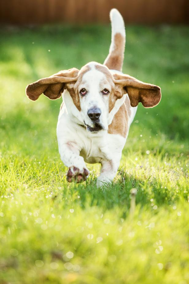 Basset-Hound-dog-2 What is the Perfect Dog for Small Living Spaces?