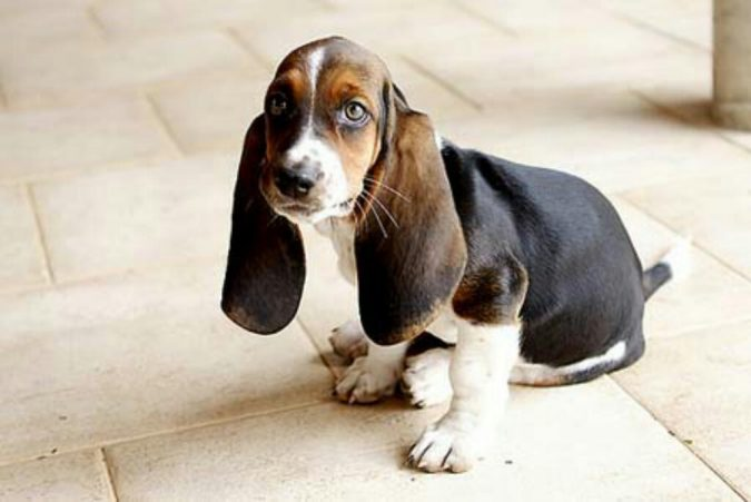 Basset-Hound-dog-675x451 What is the Perfect Dog for Small Living Spaces?