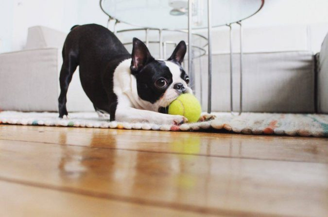 Boston-Terrier-dog-675x448 What is the Perfect Dog for Small Living Spaces?