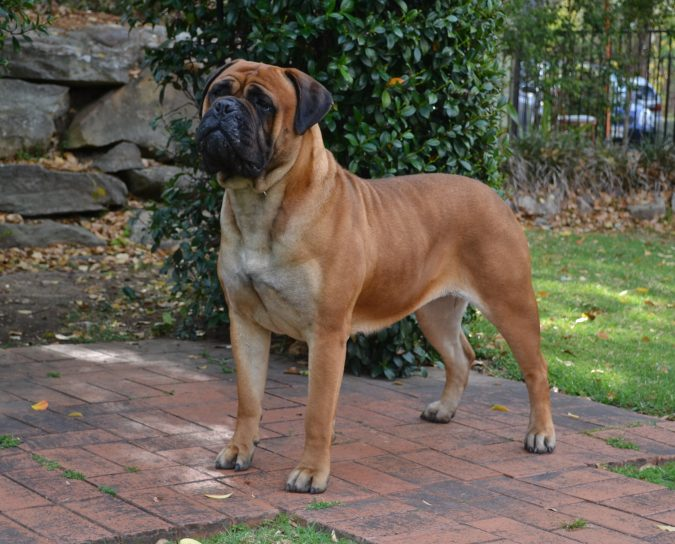 Bull-Mastiff-dog-675x544 What is the Perfect Dog for Small Living Spaces?