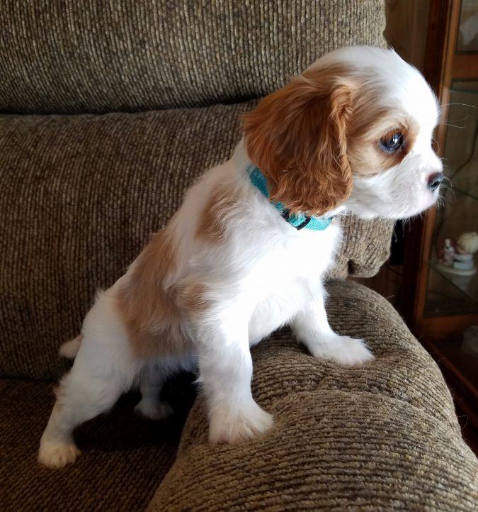 Cavalier-King-Charles-Spaniel-2-675x722 What is the Perfect Dog for Small Living Spaces?