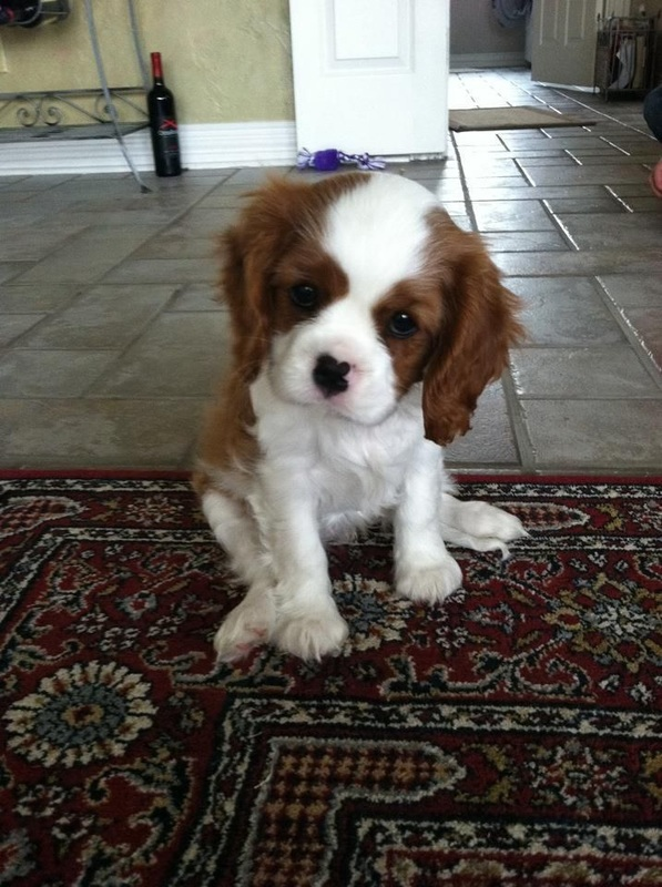Cavalier-King-Charles-Spaniel-dog What is the Perfect Dog for Small Living Spaces?