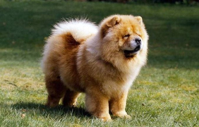 Chow-Chow-dog-675x432 What is the Perfect Dog for Small Living Spaces?
