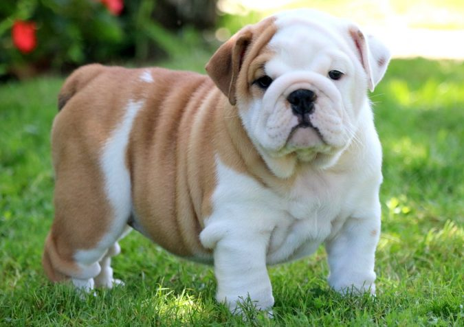 English-Bulldog-Puppy-675x476 What is the Perfect Dog for Small Living Spaces?