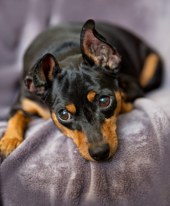 Miniature-Pinscher-dog-1-675x815 What is the Perfect Dog for Small Living Spaces?