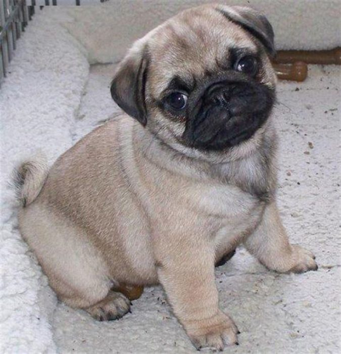 Pug-dog-2-675x701 What is the Perfect Dog for Small Living Spaces?