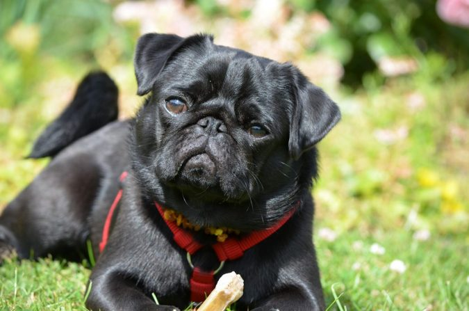 Pug-dog-675x447 What is the Perfect Dog for Small Living Spaces?