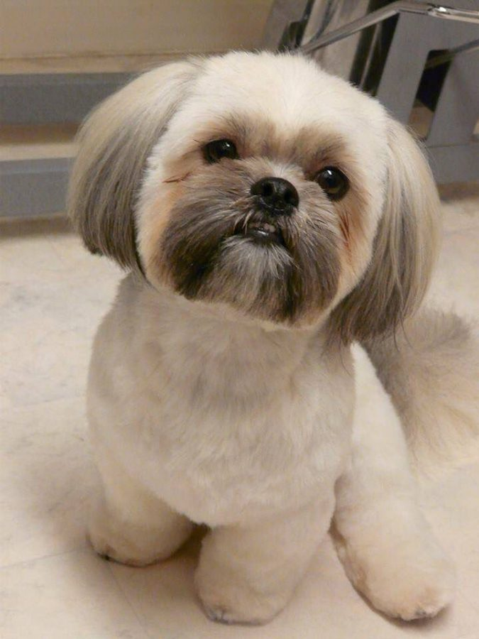 Shih-Tzu-dog-2-675x900 What is the Perfect Dog for Small Living Spaces?