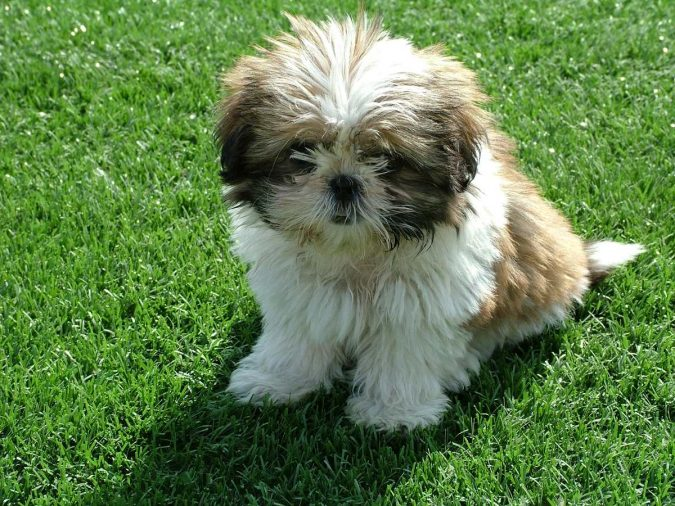 Shih-Tzu-dog-675x506 What is the Perfect Dog for Small Living Spaces?