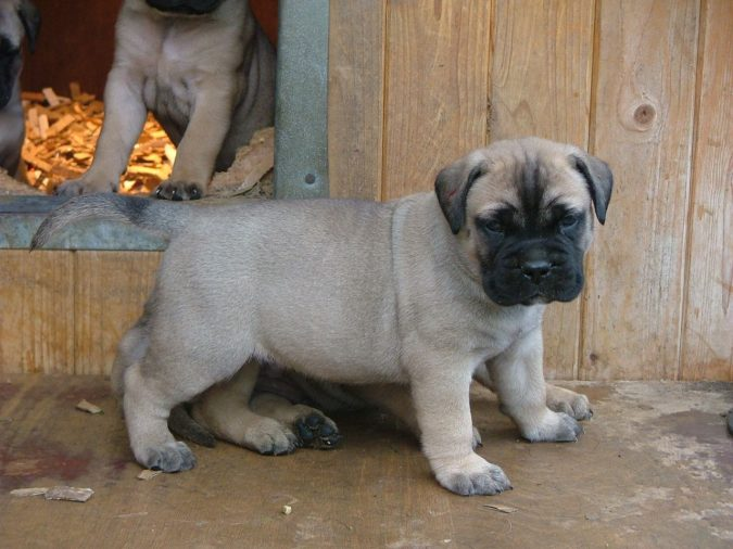 bullmastiff-pups-675x506 What is the Perfect Dog for Small Living Spaces?