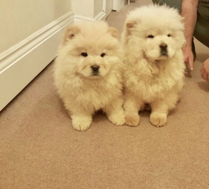 chow-chow-puppies-675x609 What is the Perfect Dog for Small Living Spaces?