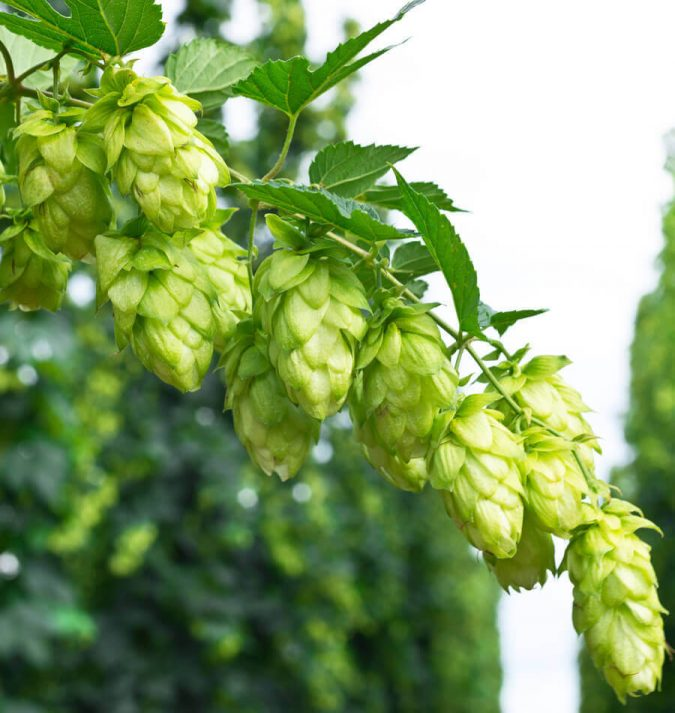 Organic-Hops-Rhizomes-675x713 5 Best Fall Beers to Try this Cold-Weather Season