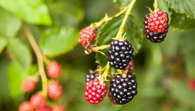 home-garden-blackberry-675x386 8 Ideas to Revamp Your Garden for 2019