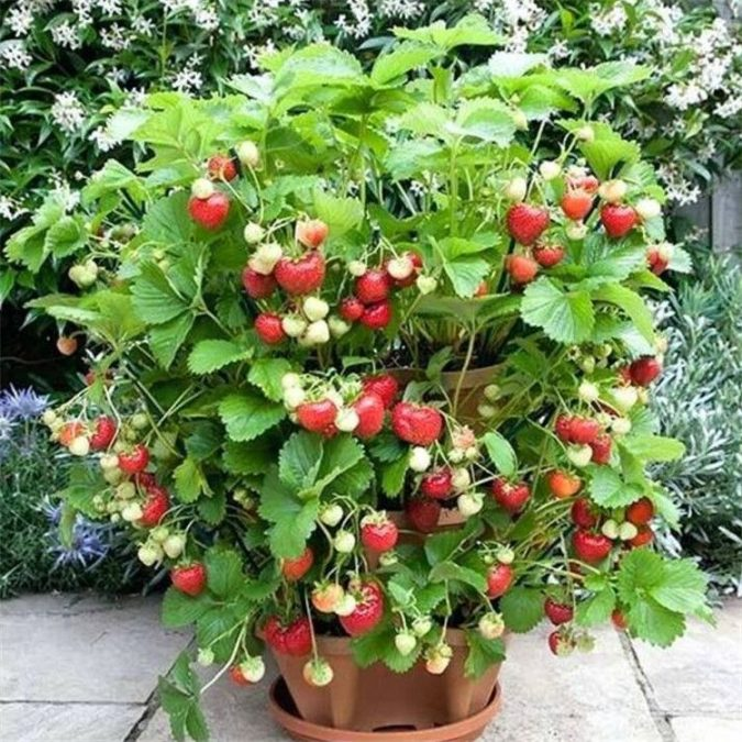 home-garden-strawberry-675x675 +7 Ideas to Revamp Your Garden for 2021