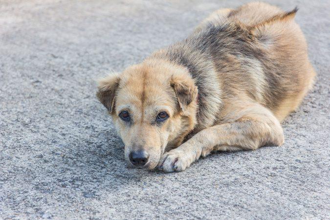 dog-Inflammatory-Bowel-Disease-675x450 10 Reasons Why Your Dog Needs Cannabis Oil