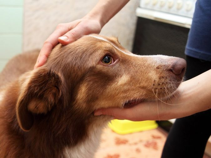 dog-epilepsy-675x506 10 Reasons Why Your Dog Needs Cannabis Oil