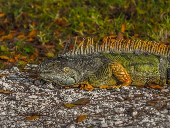 iguana-675x506 Top 6 Outdoor Activities Miami Has to Offer