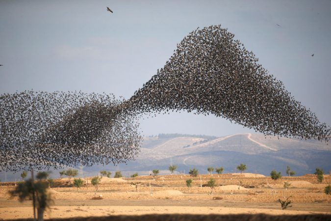 Starling-Murmuration.-675x450 14 Unusual Facts about Earth Can't Be Found Anywhere Else