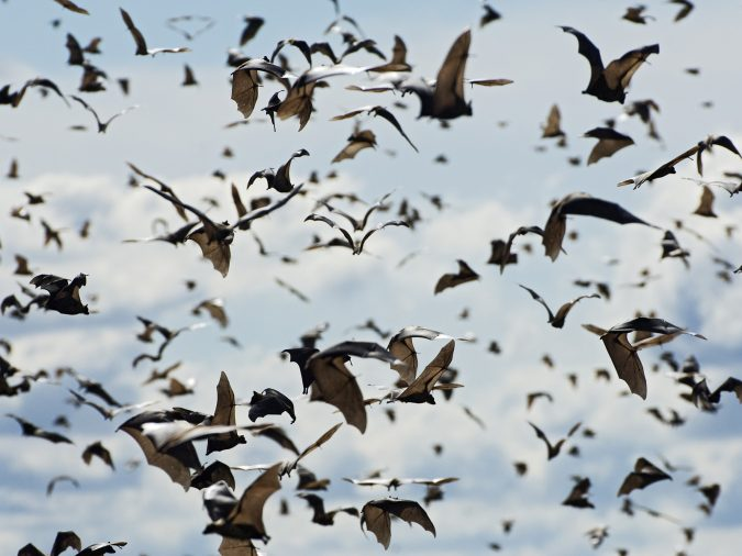 fruit-bats-migration-675x506 14 Unusual Facts about Earth Can't Be Found Anywhere Else