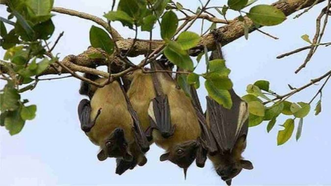 giant-fruit-bats-675x380 14 Unusual Facts about Earth Can't Be Found Anywhere Else