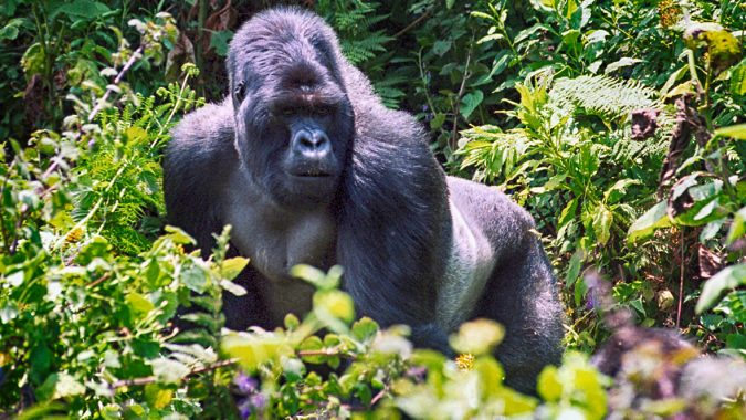 gorilla-through-steamy-bamboo-forests-675x380 8 Best Travel Destinations in June
