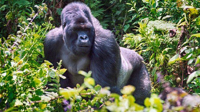 gorilla-through-steamy-bamboo-forests-675x380 8 Best Travel Destinations in June