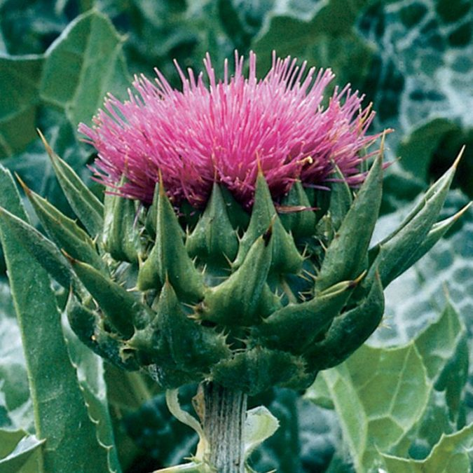 Milk-Thistle-675x675 8 Natural Supplements You Should Add to Your Health Regimen