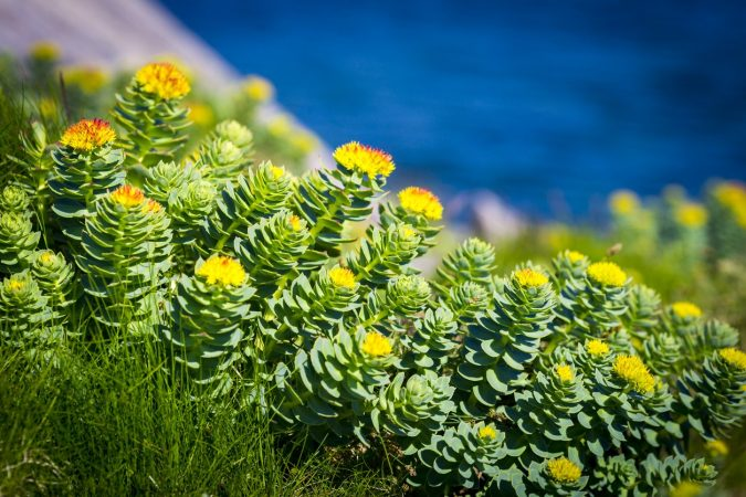Rhodiola-Rosea-675x450 8 Natural Supplements You Should Add to Your Health Regimen