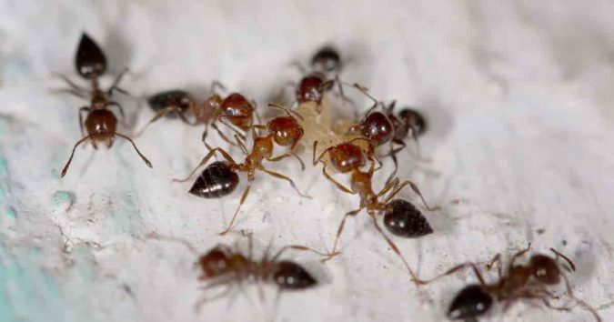 DE-Diatomaceous-Earth-to-get-rid-of-ants-675x354 Best 15 Natural Remedies for Getting Rid of Pests in Your House