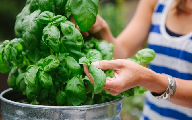 basil--675x422 Best 15 Natural Remedies for Getting Rid of Pests in Your House