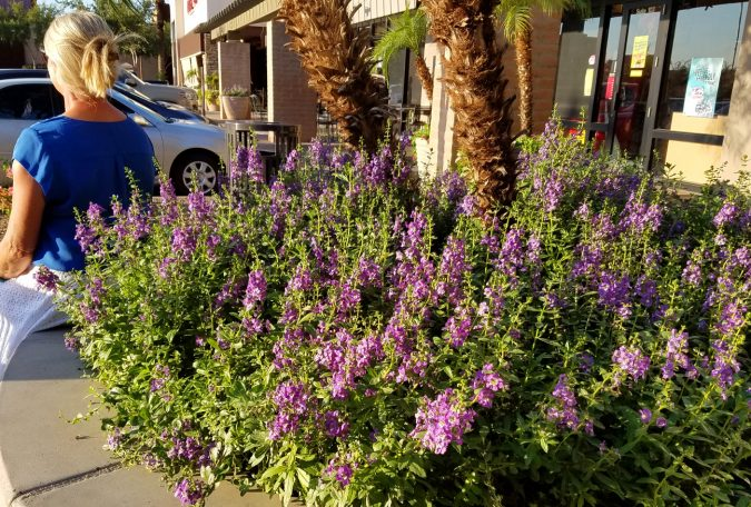 Angelonia-675x456 15 Annuals That Bloom All Summer