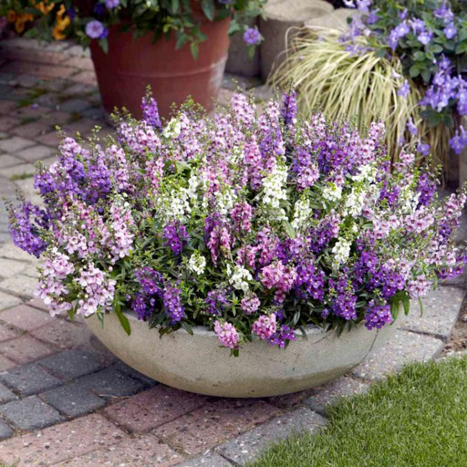 Angelonia.-675x675 15 Annuals That Bloom All Summer