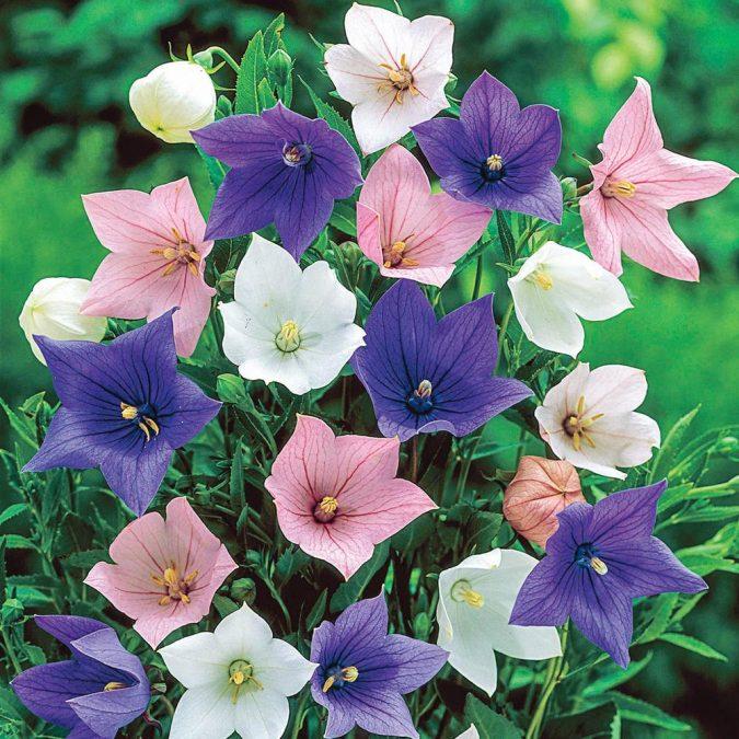 Balloon-Flower-675x675 15 Annuals That Bloom All Summer
