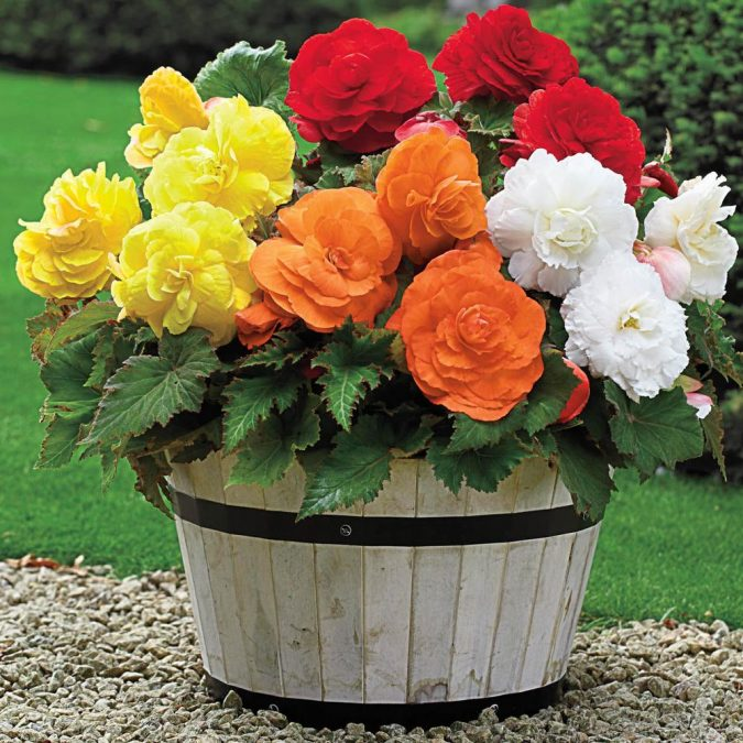Begonias-675x675 15 Annuals That Bloom All Summer