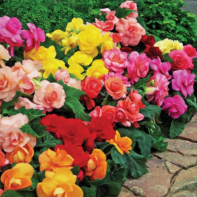 Begonias.-675x675 15 Annuals That Bloom All Summer