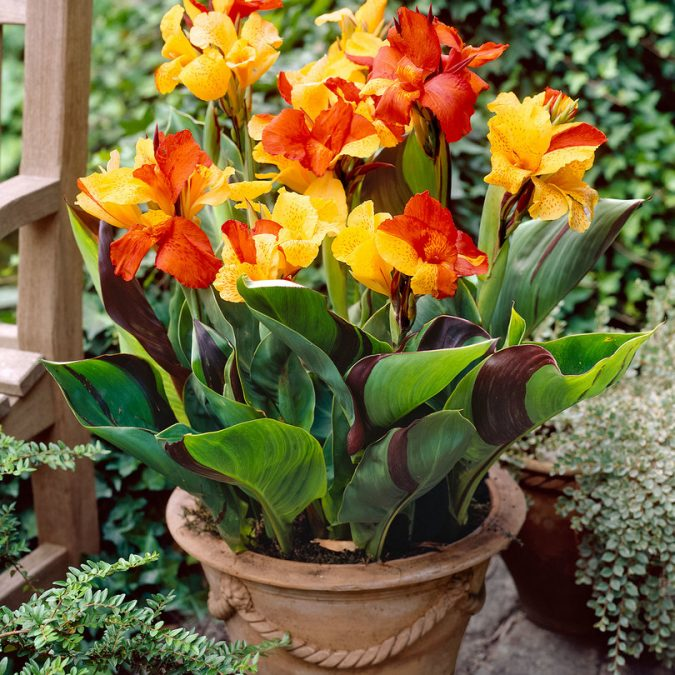 Canna-Lilies-675x675 15 Annuals That Bloom All Summer