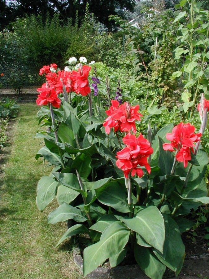 Canna-Lilies.-675x900 15 Annuals That Bloom All Summer