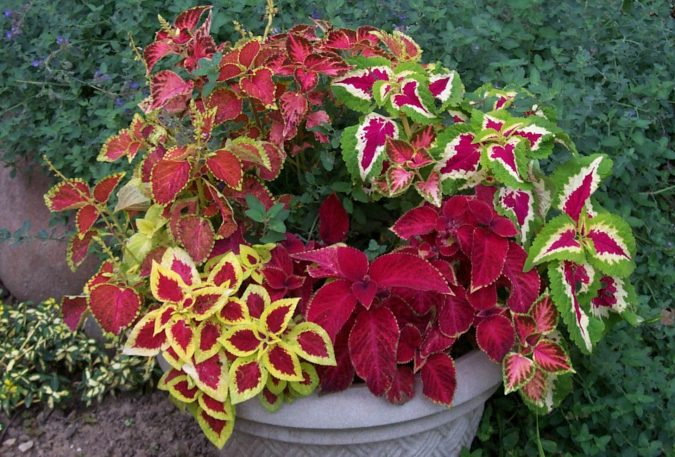 Coleus-plant-675x457 15 Annuals That Bloom All Summer