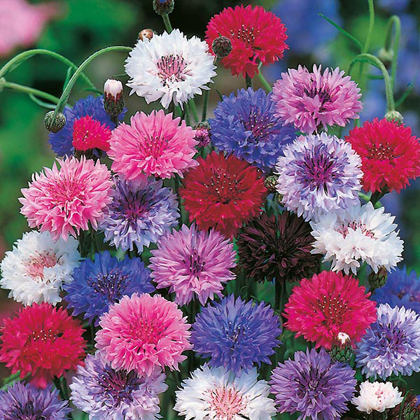 Cornflower 15 Annuals That Bloom All Summer